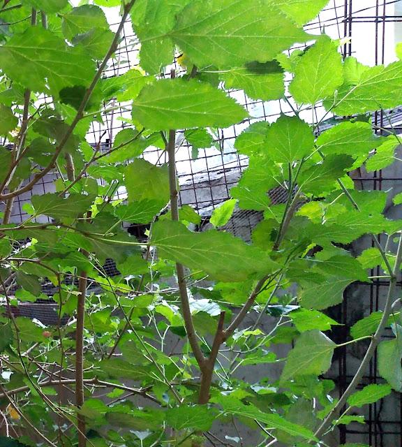 Manfaat Daun Murbei bagi Kesehatan dan Cara Pengolahan Daun Mulberry untuk Obat Kecantikan Kulit maupun Organ Dalam Tubuh