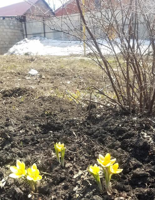 мгновения весны...март...деревня...озеро...первоцветы - крокусы