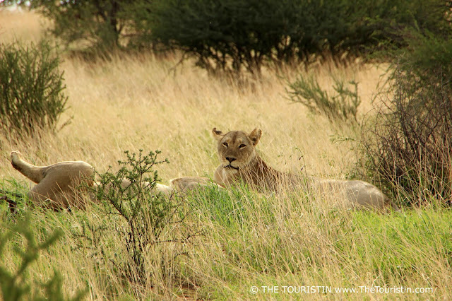Two male lions relaxing in the savannah.