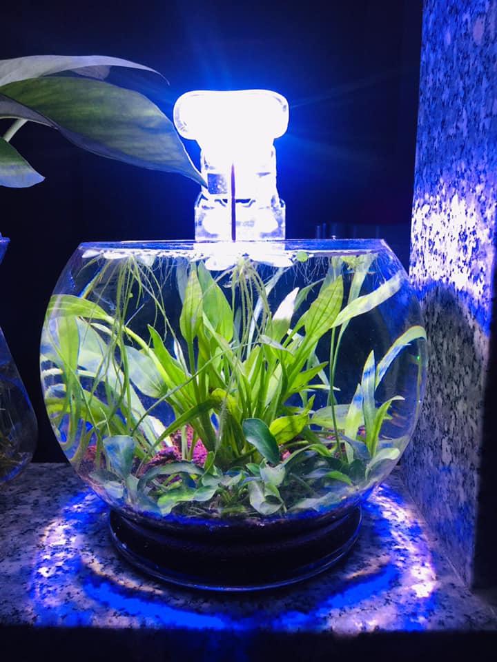 Cây Lan Nước thủy sinh được trồng trong bể thủy tinh tròn