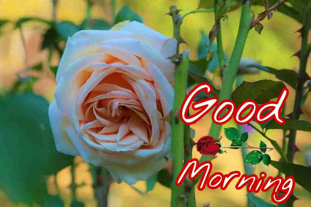 Beautiful rose flower with good morning wishes