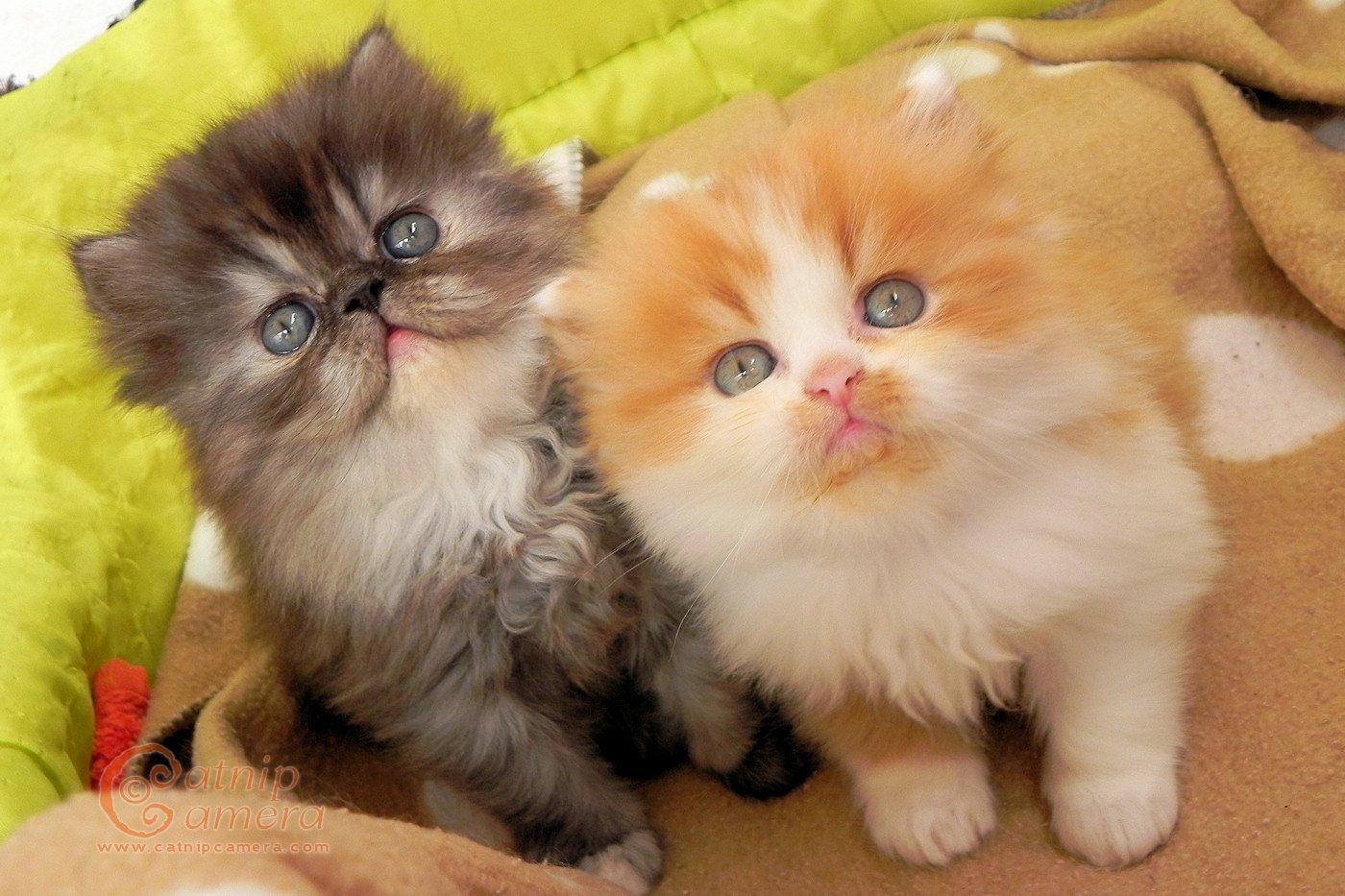 Flat Face Cat Breeds Cat Lover
