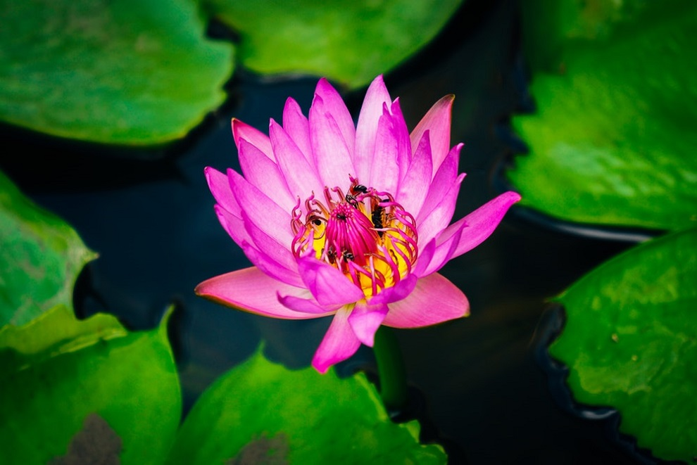 Kamal meaning in hindi and english example of kamal in hindi english lotus is a flower mightylinksfo