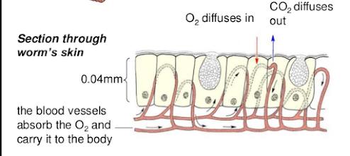 cacing bernafas dengan organ permukaan kulit