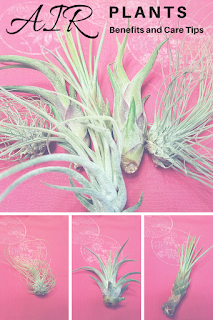 Spiky green air plants easy to grow fun for the whole family