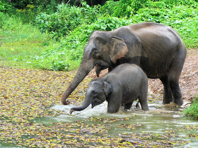 mother baby elephant bathing conservation center sayaboury laos