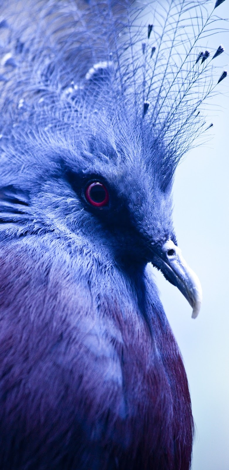 A crowned pigeon up close