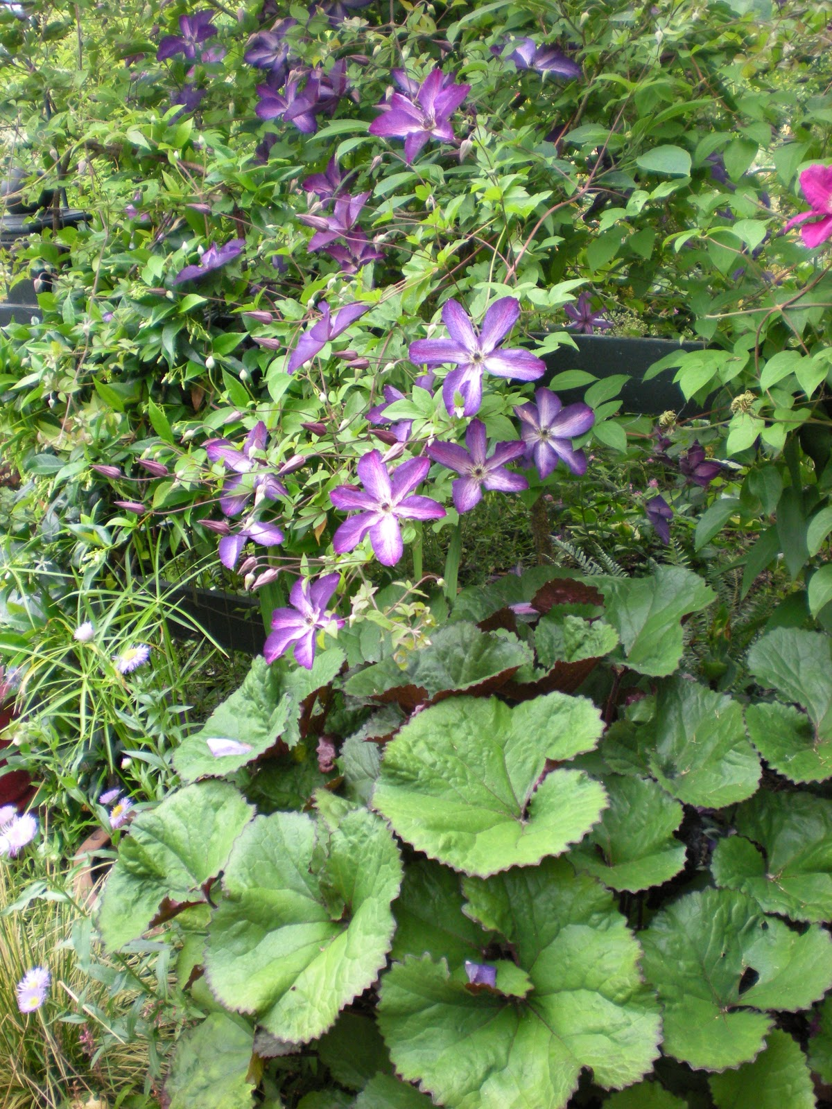 gardening with grace clematis. Black Bedroom Furniture Sets. Home Design Ideas
