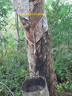 /2019/10/penyebab-hasil-produksi-pohon-karet-menurun-hingga-50.html