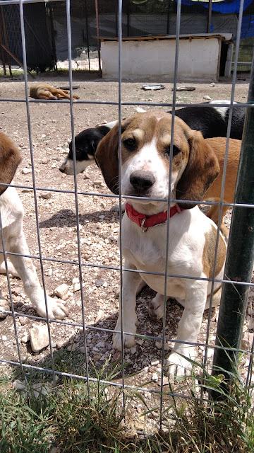 Greek rescue stray puppy dog