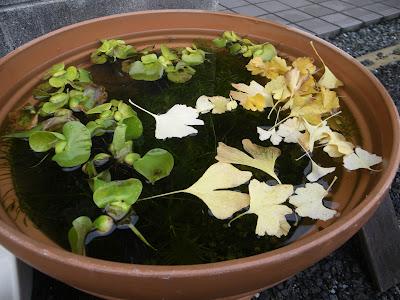メダカ ビオトープ 枯れ葉 イチョウ 越冬