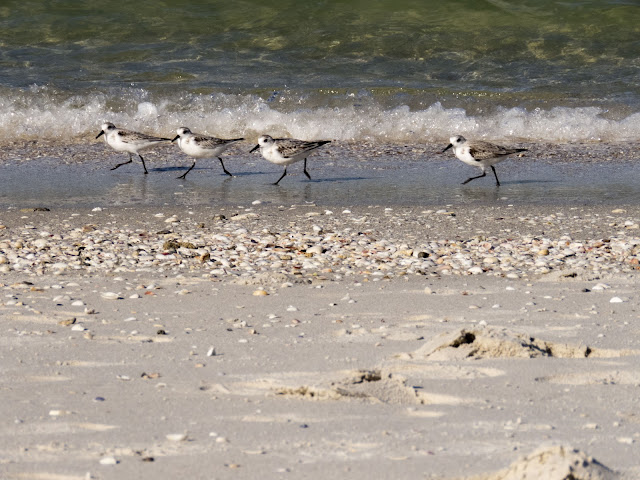 Sandpipers running in the surf in Naples, Florida