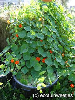 bladluizen bestrijden, ecologisch, oost-indische kers, klimplant
