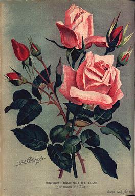 Роза Madame Maurice de Luze