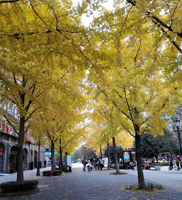 黄金色に染まった上海のイチョウ並木ー黄金城道
