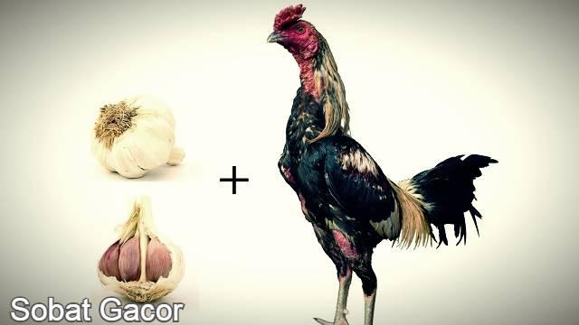 Manfaat Bawang Putih bagi Ayam Aduan