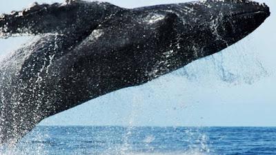 Perú está nominado a mejor destino de avistamiento de ballenas en los Óscar del Turismo