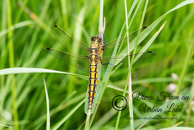 Black-tailed Skimmer (shot with Canon EOS 70D)