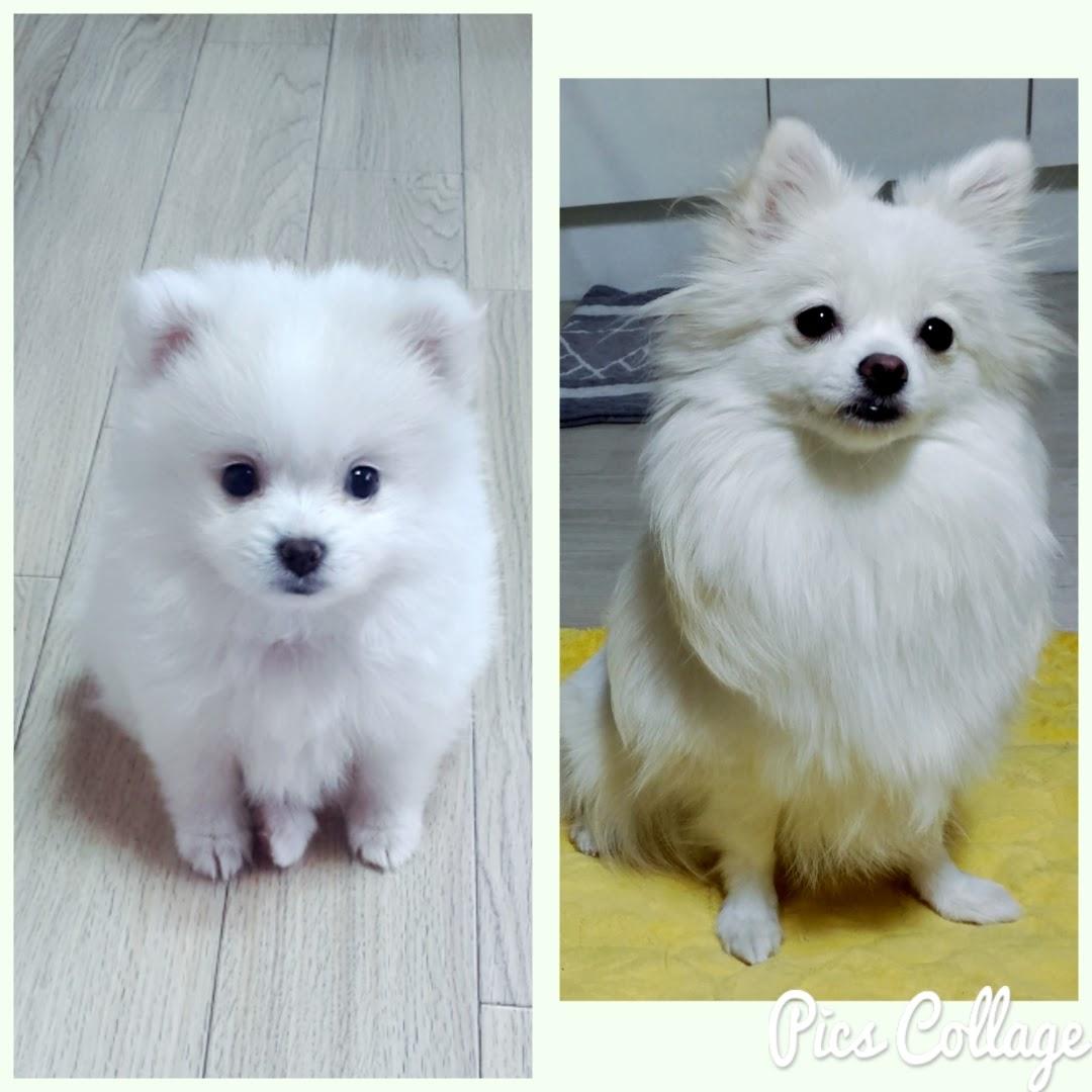 Pompitz Cross Breed Dogs Japanese Spitz Pomeranian J S Blog
