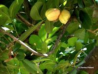 Ackee apple tree, Foster Botanical Garden - Honolulu, HI