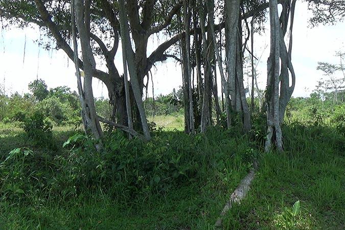 Dlium Chinese banyan (Ficus microcarpa)