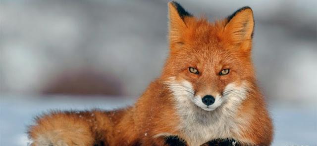 Вижте невероятното приятелство между лисица и котка (СНИМКИ)