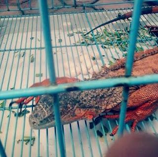 Ciri Ciri Iguana Sedang Hamil atau Gendong Telur