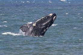 observação de baleias em Santa Catarina