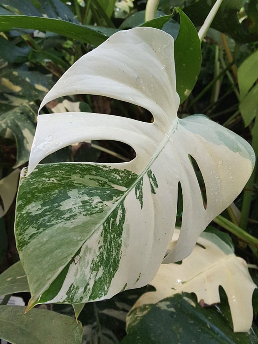 qué son las plantas variegadas