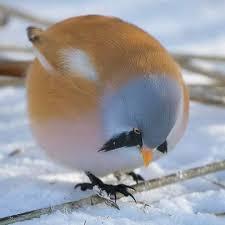 الطيور  ذات الشارب ولا أروع