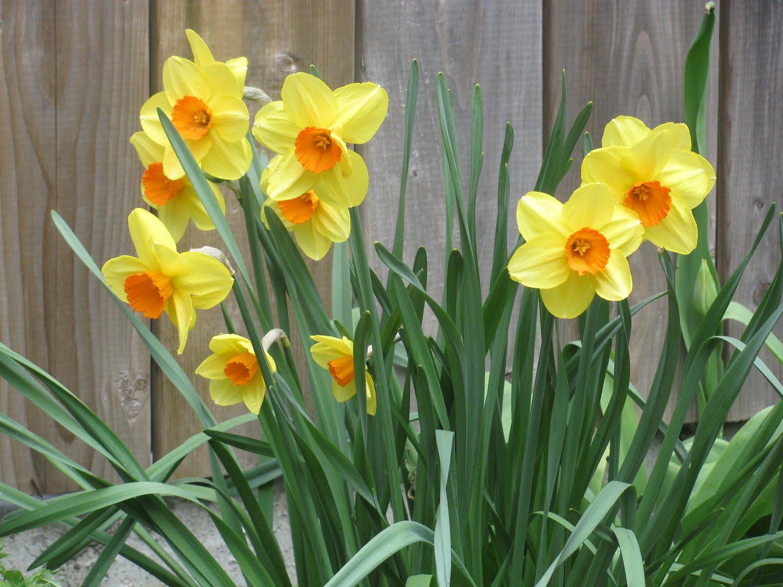 daffodil - photo #24