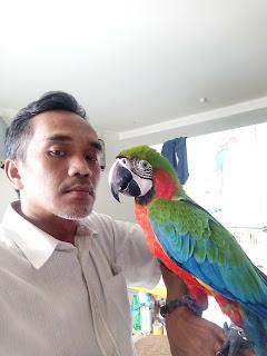 Jual anakan burung macaw harlequin