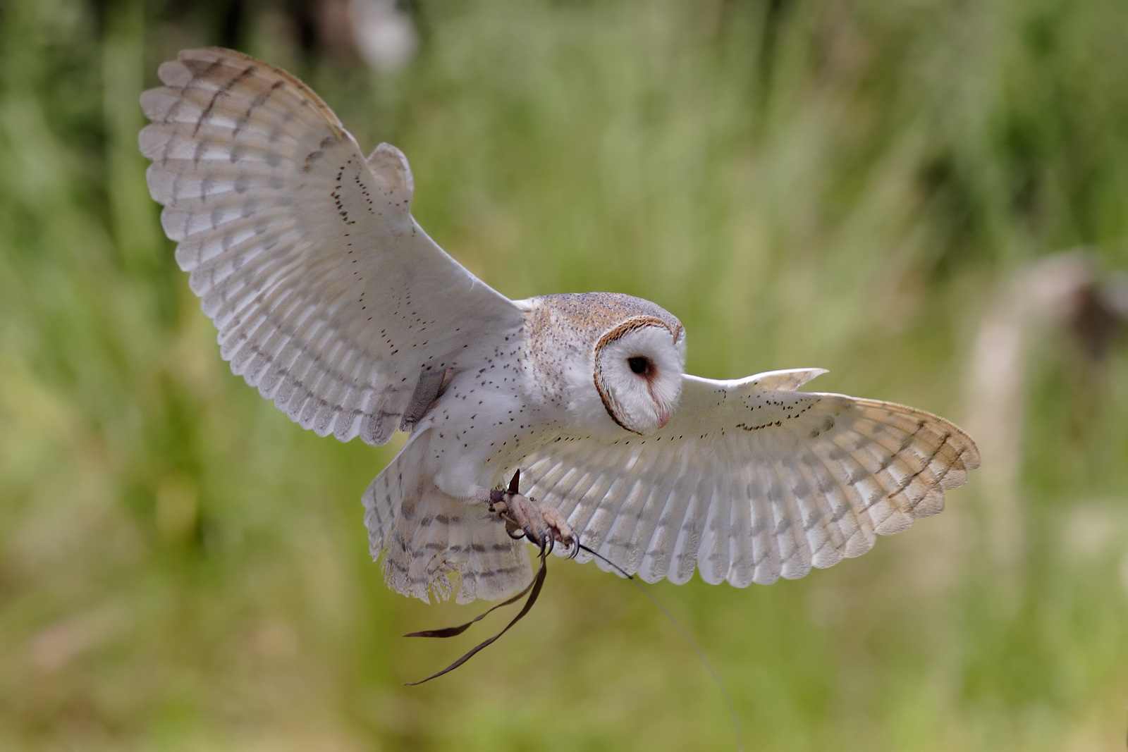 Barn Owl | Amazing Animal Basic Facts & Pictures | Animals ...