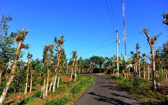 Lahan Pohon Kayu Putih di setiap sisi jalan antara Imogiri - Mangunan