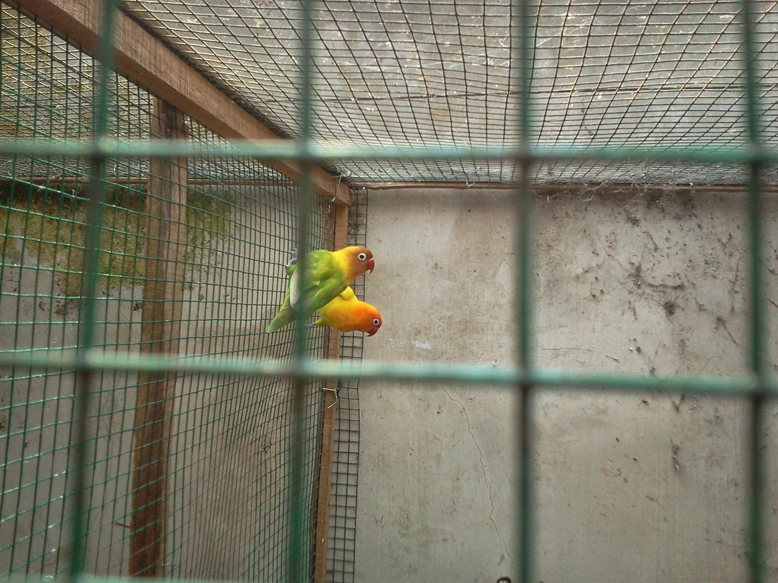 love bird harga love bird solo