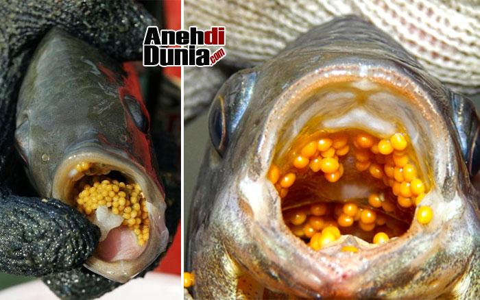 ikan nila simpan telur di Mulut