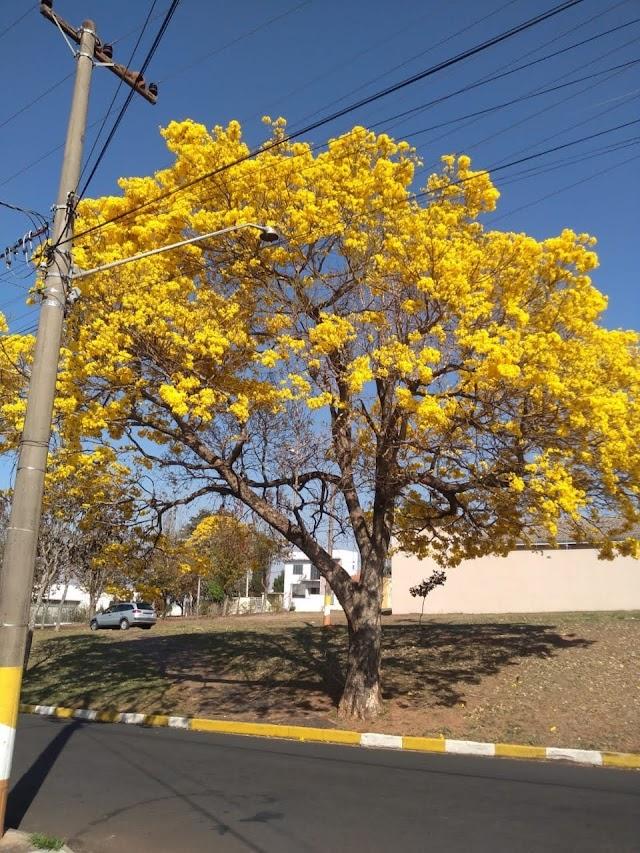 População de Avaré valoriza a beleza de sua Árvore Símbolo