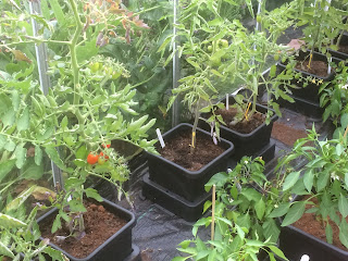 Tomatoes in autopots