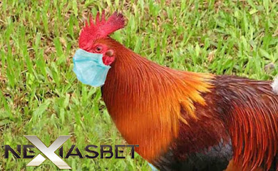 Tutorial Cara Bettingan Adu Ayam Sampai Mati S128 - Nexiasbet88.info