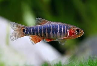 Ikan Aquascape Terindah Beserta Gambar dan Harganya