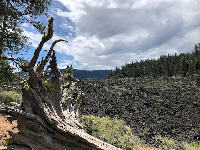 dead tree in front of field of volcanic rock