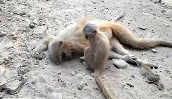 (Video) 'Ibu.. bangun bu..' - Anak monyet tak tahu ibunya sudah mati akibat terkena renjatan elektrik