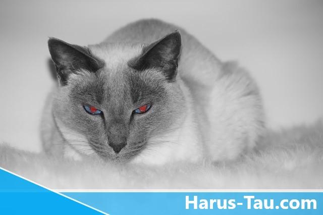 Kucing Siam Mata Merah