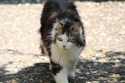 Cara Melebatkan Bulu Kucing Mix Dome