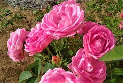 Cara Penyerbukan Bunga Mawar