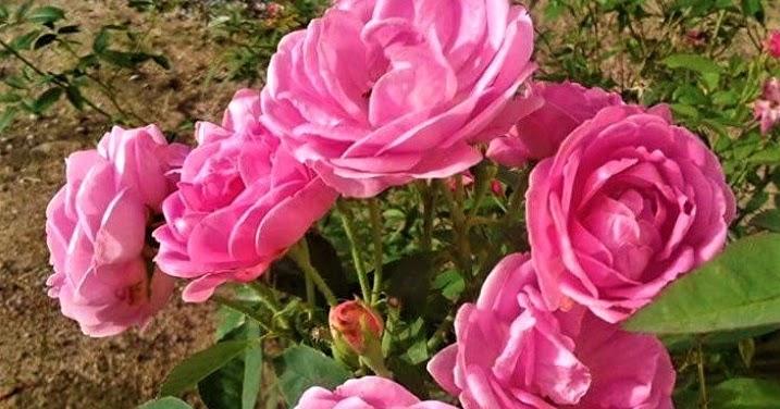 Blog Pendidikan Cara Penyerbukan Bunga Mawar Gambar Lengkap
