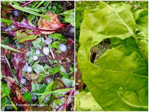 El granizo rompe las hojas al impactar contra ellas - Chacra Educativa Santa Lucía