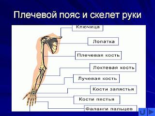плечевой сустав, боли в суставе,болит плечо,лечение боли в плече