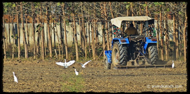 Cattle Egret, Plowing,