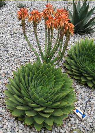 How to  Grow and care for spiral aloe (Aloes)